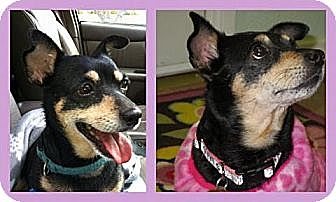 Miniature Pinscher/Chihuahua Mix Dog for adoption in Riverside, California - Stephie