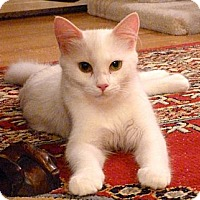 Adopt A Pet :: Miracle - Bedford, MA