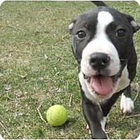 Adopt A Pet :: Susie - Dallas, PA