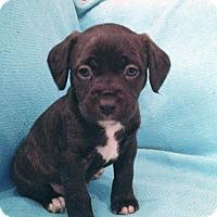 Adopt A Pet :: Roxi - San Francisco, CA