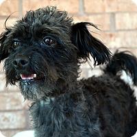Adopt A Pet :: Chester-Adoption pending - Bridgeton, MO