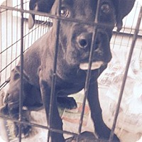 Adopt A Pet :: Great Dane Pup - Pompton Lakes, NJ