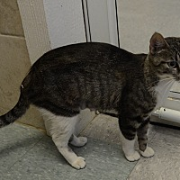 Domestic Shorthair Kitten for adoption in San Angelo, Texas - Evie