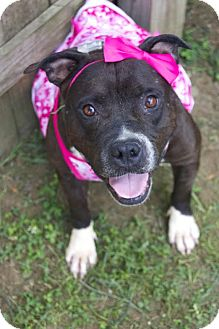 American Staffordshire Terrier Mix Dog for adoption in Darlington, South Carolina - Kira