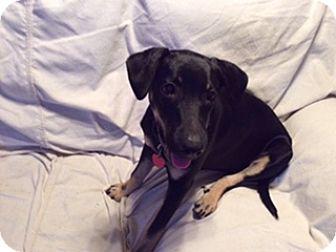 Labrador Retriever/Rottweiler Mix Puppy for adoption in Emory, Texas - Princess