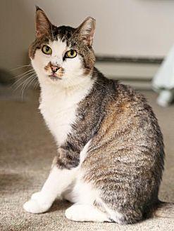 Domestic Shorthair Cat for adoption in Oakland, California - Trevor