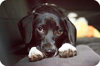 Labrador Retriever Mix Dog for adoption in Alexandria, Virginia - Hunter