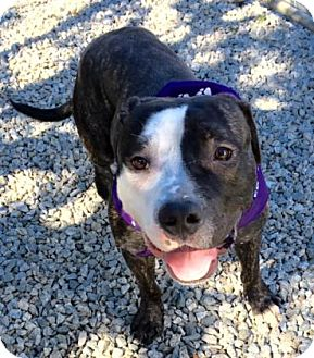 Pit Bull Terrier Mix Dog for adoption in Greensboro, North Carolina - Two Face