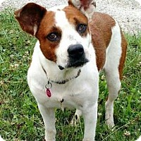 Australian Cattle Dog Mix Dog for adoption in Chicago, Illinois - Bridget 2 - FEE SPONSORED FOR THE MONTH OF APRIL!