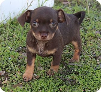 Chihuahua Mix Puppy for adoption in Red Bluff, California - Pumpkin Pie