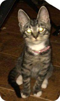 Domestic Mediumhair Kitten for adoption in Eureka, California - Moodle