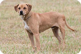 Labrador Retriever/Pit Bull Terrier Mix Dog for adoption in Broken Arrow, Oklahoma - Buddy