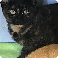 Domestic Shorthair Cat for adoption in Manteo, North Carolina - Sapphire