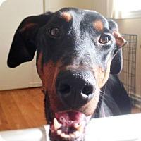 Adopt A Pet :: Ginger - Arlington, VA