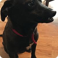 Adopt A Pet :: GiGi - East Windsor, NJ
