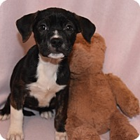 Adopt A Pet :: Hoppy - Charlotte, NC
