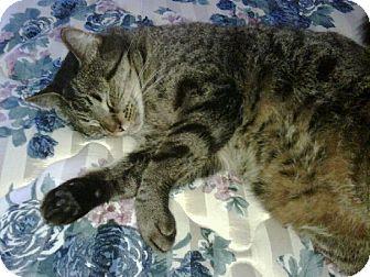 Domestic Mediumhair Cat for adoption in Winder, Georgia - *Curly