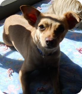 Chihuahua Mix Dog for adoption in dewey, Arizona - Camella