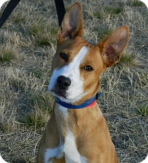 Basenji/Terrier (Unknown Type, Medium) Mix Dog for adoption in Cheyenne, Wyoming - Sapphire (Klippy)
