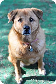 Chow Chow/Golden Retriever Mix Dog for adoption in Newhall, California - Sunshine