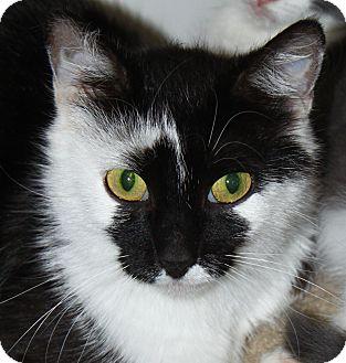 Domestic Shorthair Cat for adoption in North Branford, Connecticut - Petunia - adoption pending