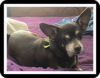 Chihuahua Mix Dog for adoption in Winchester, California - CHACHA