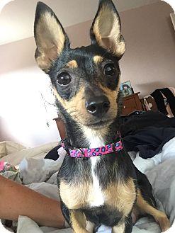 Miniature Pinscher/Chihuahua Mix Dog for adoption in Rancho Cucamonga, California - Sophia