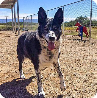 Australian Cattle Dog Mix Dog for adoption in Sierra Vista, Arizona - Shiloh