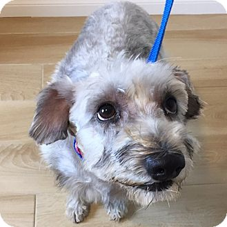 Schnauzer (Miniature) Dog for adoption in Redondo Beach, California - Lotus