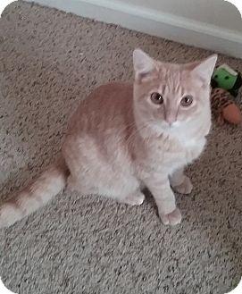 Domestic Shorthair Kitten for adoption in Cedar Springs, Michigan - Zip
