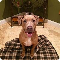 Adopt A Pet :: Blue - New York, NY
