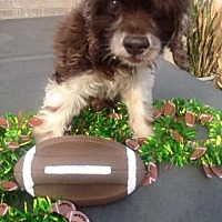 Adopt A Pet :: Yogi - Houston, TX