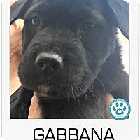 Adopt A Pet :: Gabbana - Kimberton, PA
