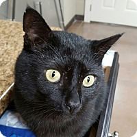 Domestic Shorthair Cat for adoption in Wilmington, Ohio - Odin