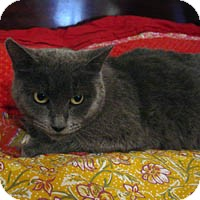 Russian Blue Cat for adoption in Round Rock, Texas - Lexi Bleu