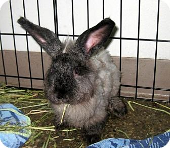 Lionhead Mix for adoption in Los Angeles, California - Heidi