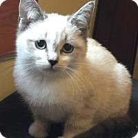 Adopt A Pet :: Cupid-Adoption Pending! - Arlington, VA