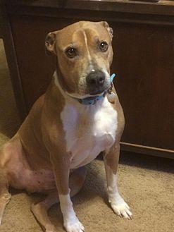 Labrador Retriever/Shepherd (Unknown Type) Mix Dog for adoption in Lawrenceville, Georgia - Gino