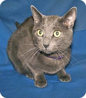 Russian Blue Cat for adoption in Colorado Springs, Colorado - K-Lillian10-Justin