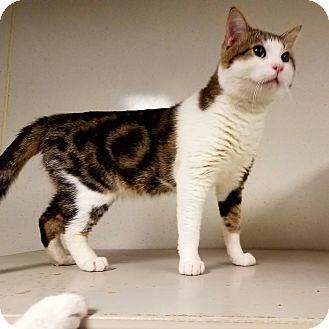 Domestic Shorthair Cat for adoption in Indianola, Iowa - C-7