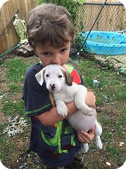 Jack Russell Terrier/Bulldog Mix Puppy for adoption in Brick, New Jersey - Sweetie