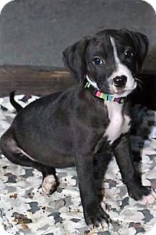 Jack Russell Terrier/American Staffordshire Terrier Mix Puppy for adoption in Fairfax, Virginia - Bev