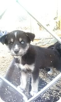 Husky/Golden Retriever Mix Puppy for adoption in Wytheville, Virginia - Tundra and family