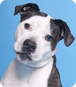 American Bulldog/Cattle Dog Mix Dog for adoption in Chicago, Illinois - Shadow