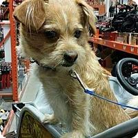 Adopt A Pet :: Indian Mills NJ - Brad - New Jersey, NJ