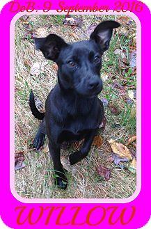 Labrador Retriever/Australian Kelpie Mix Dog for adoption in Middletown, Connecticut - WILLOW