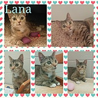 Adopt A Pet :: Lana - Arlington/Ft Worth, TX