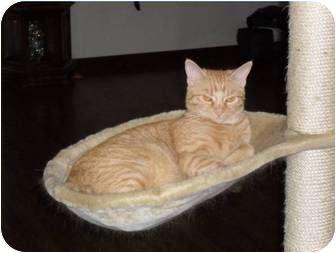 American Bobtail Cat for adoption in Farmington, Arkansas - Olive