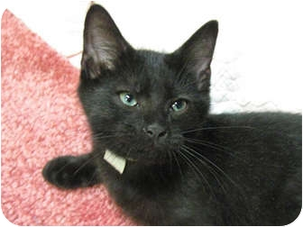 Domestic Shorthair Kitten for adoption in Centerburg, Ohio - Ranger