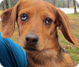 Dachshund/Terrier (Unknown Type, Small) Mix Puppy for adoption in Harrisonburg, Virginia - Paisley